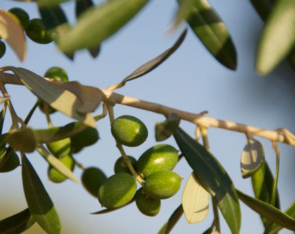 Frutos de Olivo